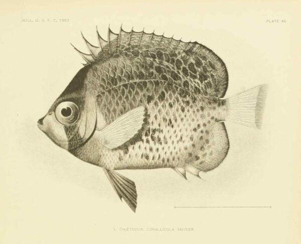 Chaetodon corallicola uit de beschrijving van Snyder. Deze naam is een junior synoniem.