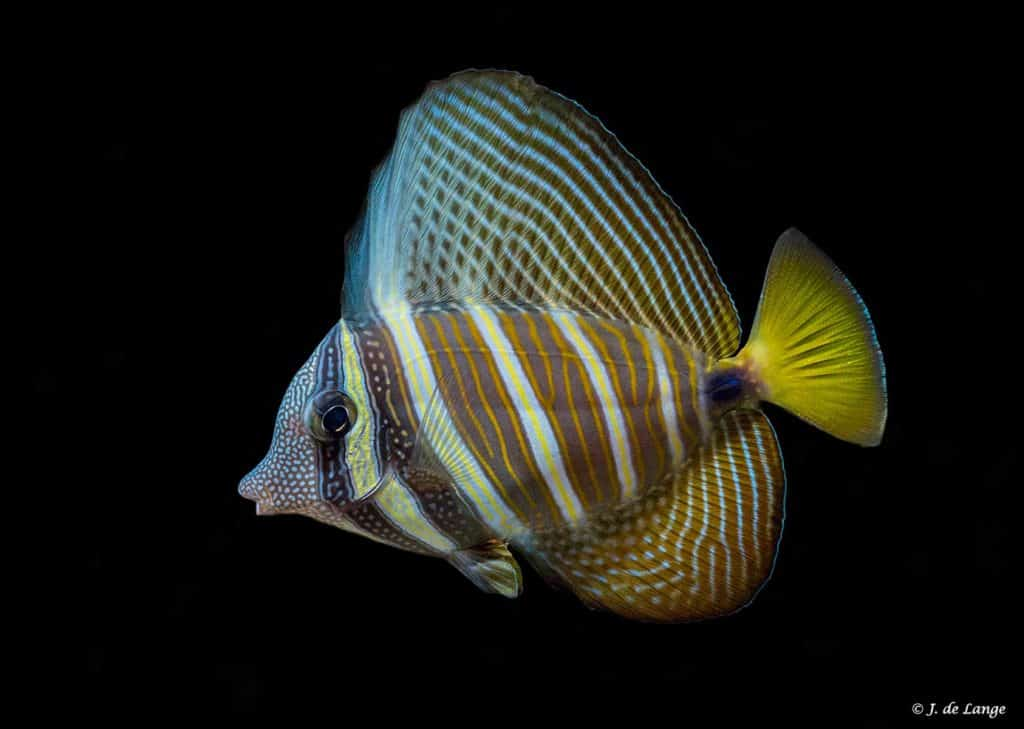 Zebrasoma velifer - Zeilvindoktersvis