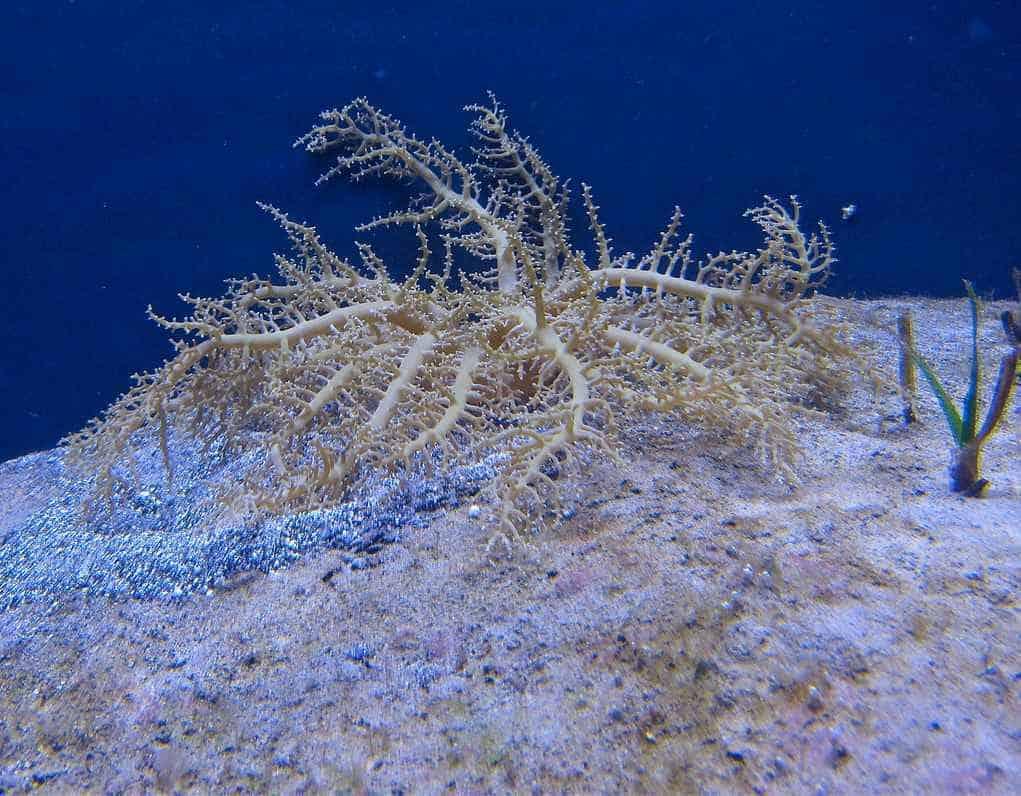 Actinodendron plumosum