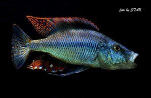 Dimidiochromis compressiceps - Chizumulu