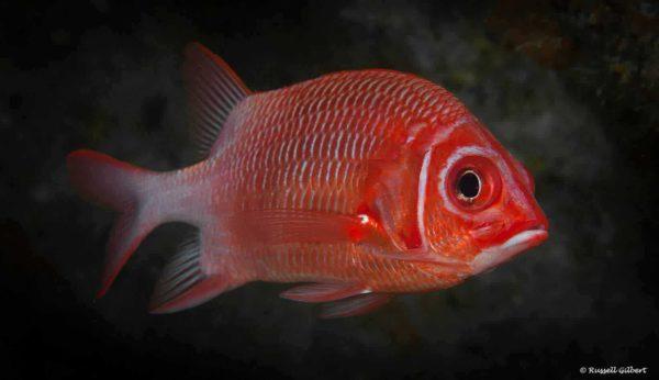 Sargocentron caudimaculatus