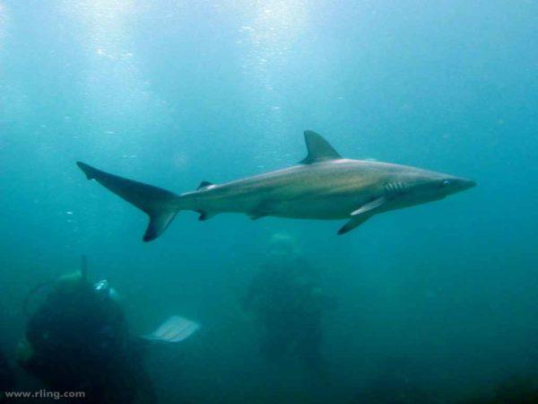 Carcharhinus obscurus - Schemerhaai