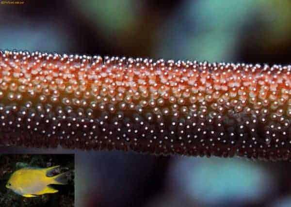 Amblyglyphhidodon aureus - Gouden Juffer eieren