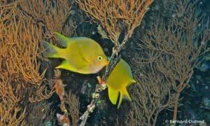 Amblyglyphidodon aureus - Gouden Juffer