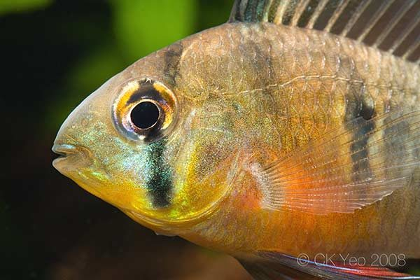 Mikrogeophagus altispinosus - Close up