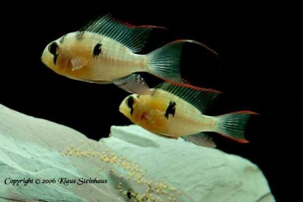 Mikrogeophagus altispinosus - met eieren