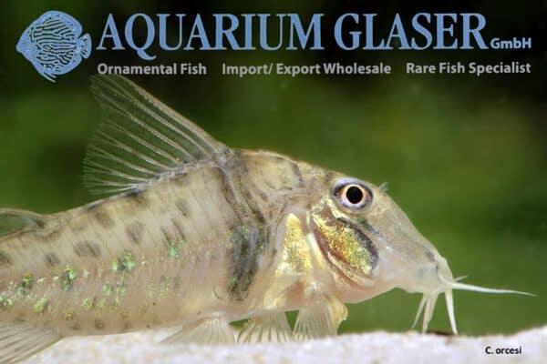 Corydoras orcesi - Close up