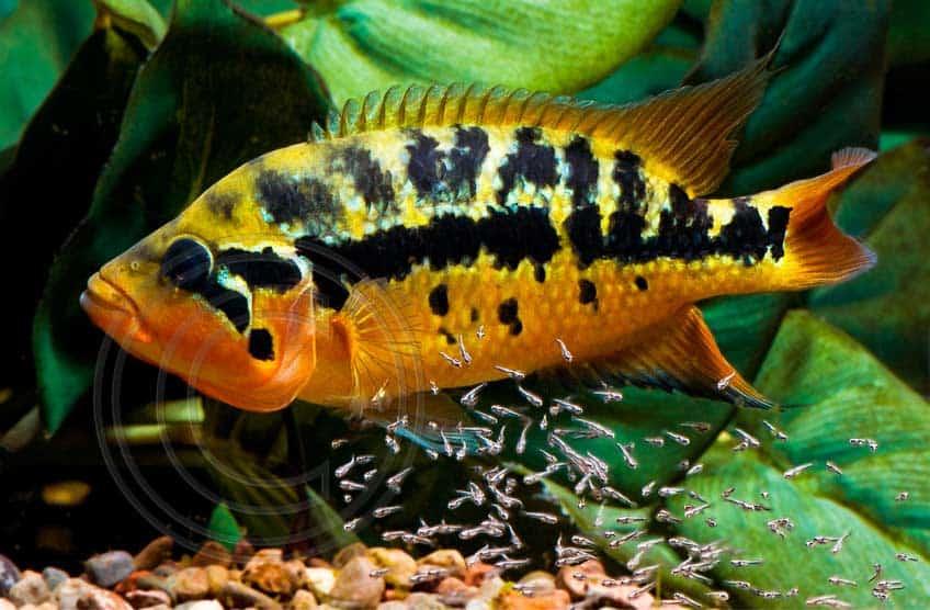 Parachromis motaguensis - Rio Blanco - Vrouw met jongen
