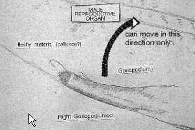 Let op: het gonopodium kan slechts 1 kant op bewegen