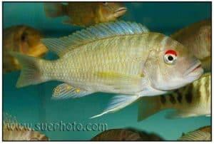Petrochromis fasciolatus - Rood Oog Ikola