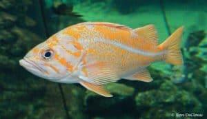 Sebastidae
