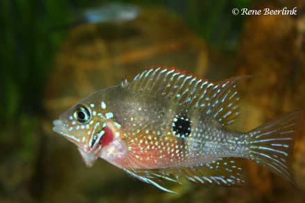 Thorichthys maculipinnis - man in dreighouding
