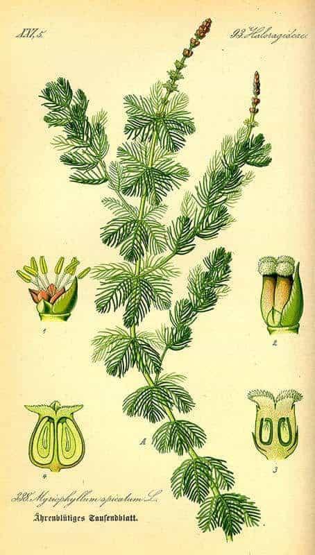 Myriophyllum spicatum - Tekening