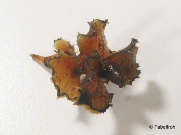 Potamogeton crispus - Gekroesd Fonteinkruid - Overwinter vorm