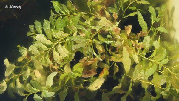 Potamogeton lucens - Glanzend Fonteinkruid