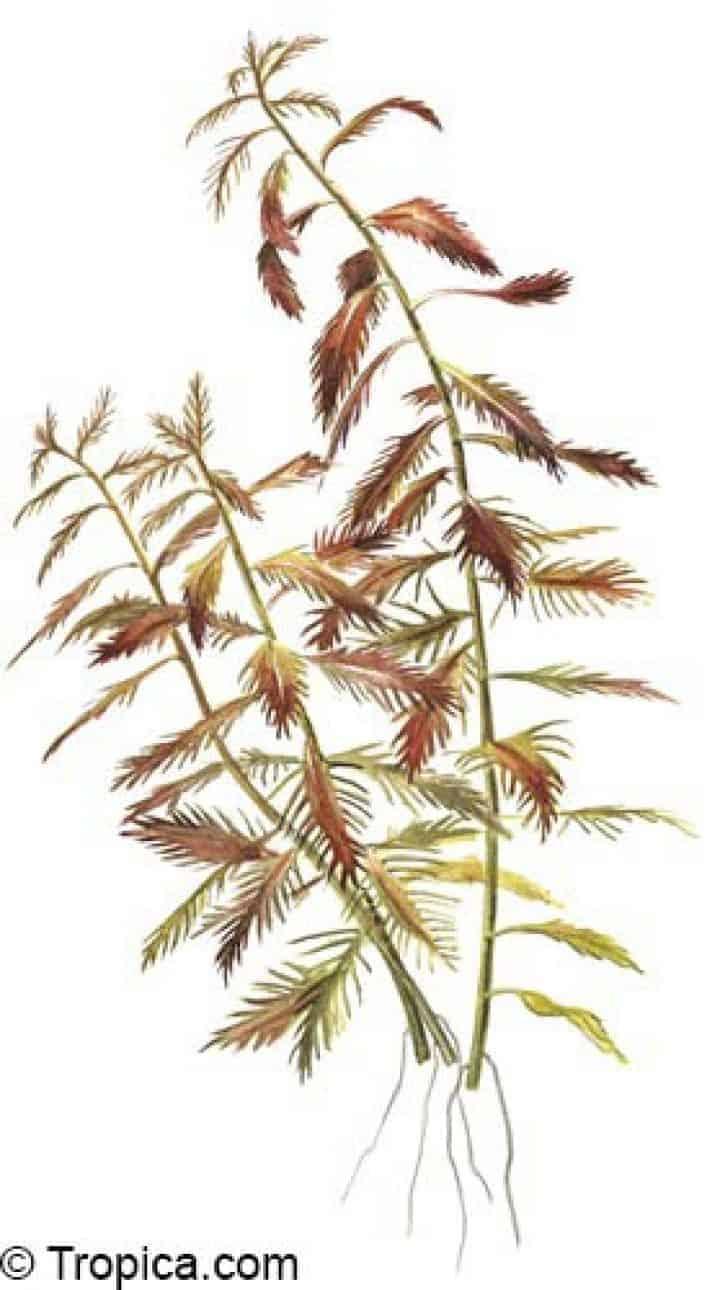 Proserpinaca palustris - tekening