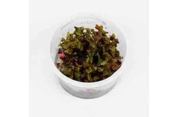 Rotala macrandra in pot