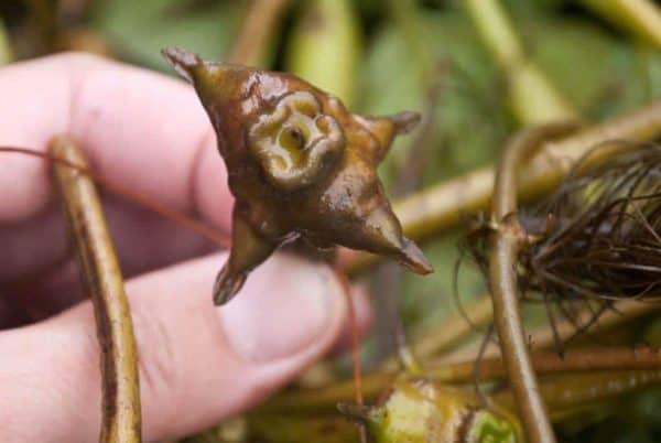 Trapa natans - Waternoot zaadnoot
