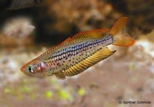 Rhadinocentrus