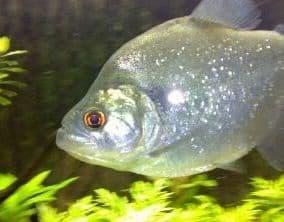 Serrasalmus compressus
