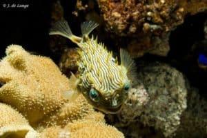 Chilomycterus schoepfii