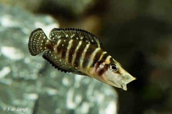Altolamprologus calvus - Black - Juveniel 3 cm - Gaapt