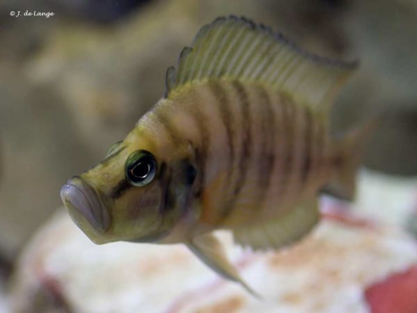 Altolamprologus calvus Yellow