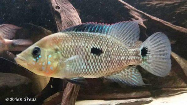 Kronoheros umbriferus - Vrouw - 20 cm - Colombia