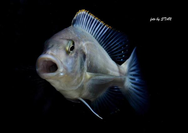 Buccochromis atritaeniatus - 16 cm
