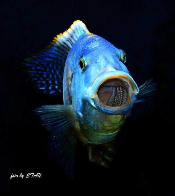 Buccochromis atritaeniatus - Gaapt