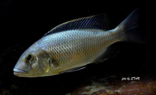 Buccochromis atritaeniatus - jonge man 16 cm