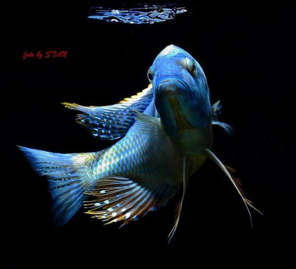 Buccochromis atritaeniatus - man 23 cm