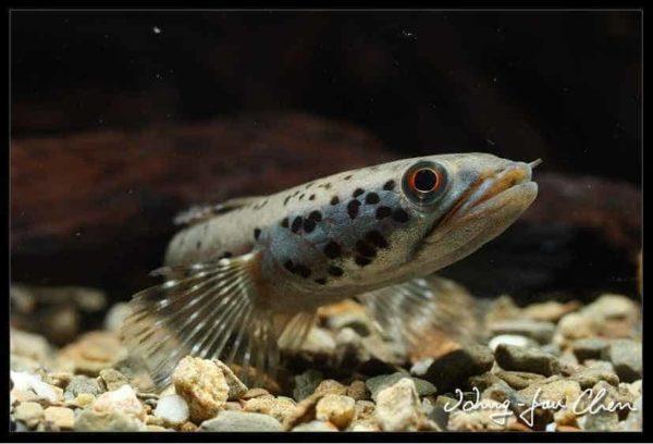 Channa ornatipinnis - Birmese Gevlekte Slangekopvis