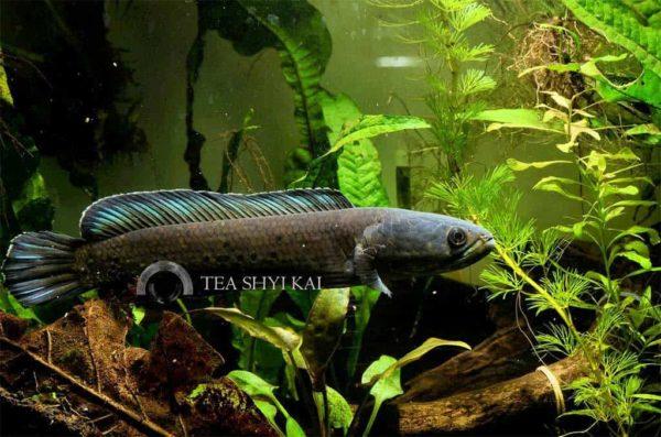 Channa stewartii - Gouden Slangekopvis
