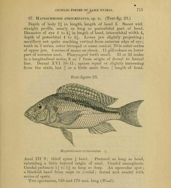 Buccochromis atritaeniatus - Eerstbeschrijving