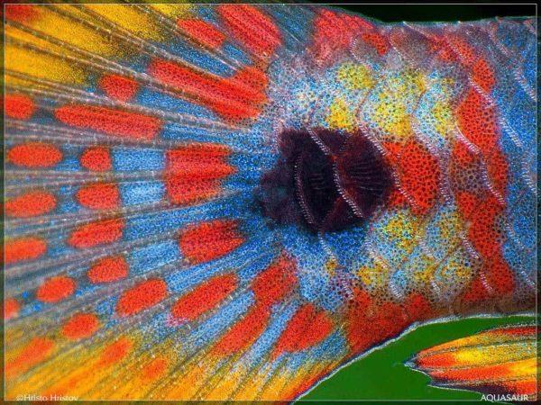 Tateurndina ocellicauda - Staart detail