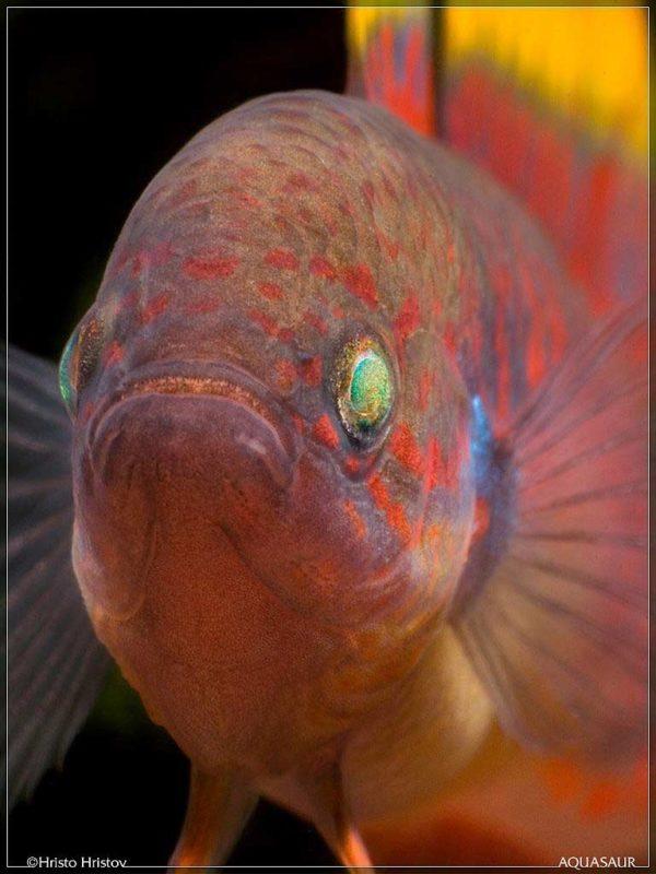 Tateurndina ocellicauda - Close up van de kop
