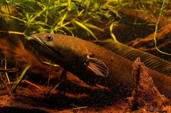 Channa melasoma - Zwarte Slangekopvis