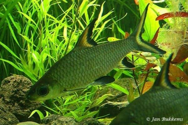Balantiocheilus melanopterus - Zilverhaai Barbeel