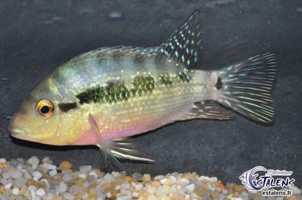 Cribroheros longimanus - Rio Guayape - Man