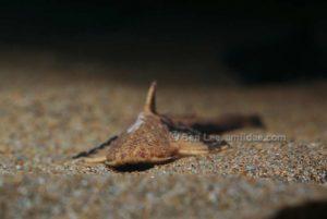 Akysidae
