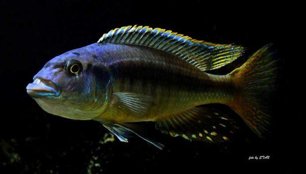 Taeniochromis holotaenia - Man
