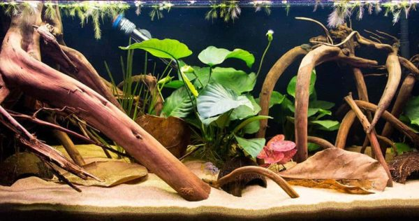 Apistogramma ortegai - Speciaal Aquarium