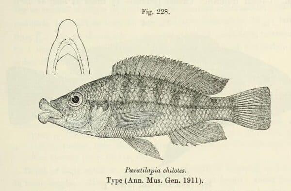 Haplochromis chilotes tekening