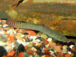 Aborichthys elongatus - Beschadigde man na gevecht