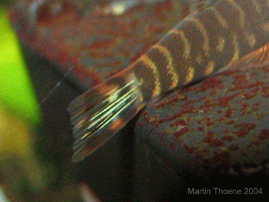 gastromyzon zebrinus