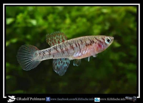 Fundulopanchax filamentosus