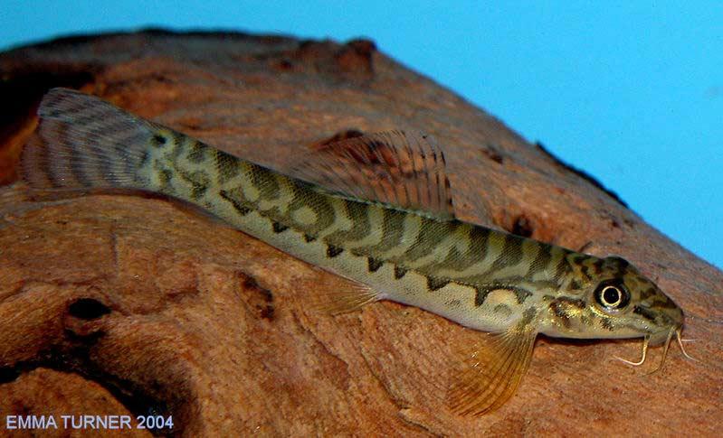 Acanthocobitis botia