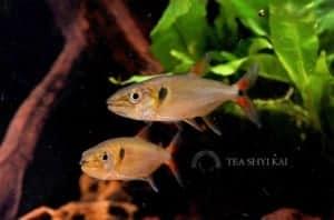 Acestrorhynchus falcatus - Roodstaart Zoetwater Barracuda
