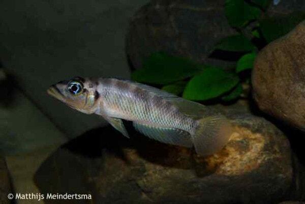 Altolamprologus fasciatus man